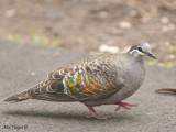 Common Bronzewing - female