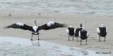 Australian Pelican - butts!