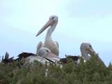 Australian Pelican 2