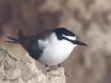 Bridled Tern 2