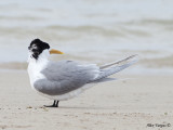 Crested Tern 3