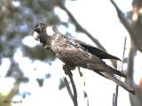 Carnabys Black Cockatoo - male