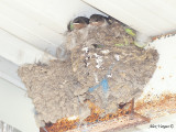 Welcome Swallow - nest 1