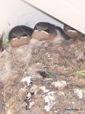 Welcome Swallow - nest 2