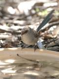 Blue-breasted Fairy-wren female