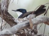 Restless Flycatcher - nesting