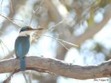 Sacred Kingfisher 6