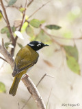 White-naped Honeyeater 6