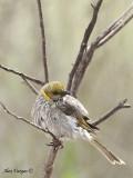Yellow-plumed Honeyeater 4