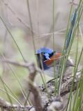 Blue-breasted Fairy-wren male 6
