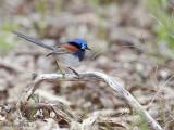 Blue-breasted Fairy-wren male 2