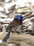 Blue-breasted Fairy-wren male 5