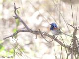 Blue-breasted Fairy-wren male 3