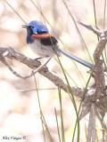 Blue-breasted Fairy-wren male 7