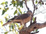 Brown Goshawk - female 1