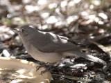 Grey Shrike-thrush 2