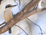 Sacred Kingfisher 2