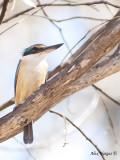 Sacred Kingfisher 4