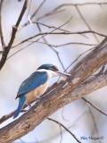 Sacred Kingfisher 7