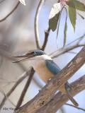 Sacred Kingfisher 3