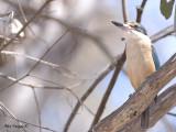 Sacred Kingfisher 5