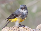 Western Yellow Robin 3