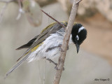 White-naped Honeyeater 4