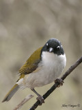 White-naped Honeyeater 3