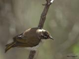 White-naped Honeyeater - juvenile 2