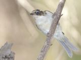 White-naped Honeyeater - juvenile