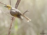 Yellow-plumed Honeyeater 3