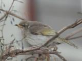Yellow-plumed Honeyeater - juvenile