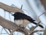 Willie Wagtail - 2