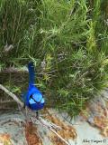 Splendid Fairy-wren - male 2