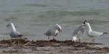 Silver Gull - talking