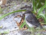White-breasted Robin - juvenile