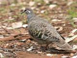 Common Bronzewing - male 2