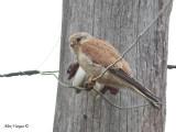 Nankeen Kestrel - female 2