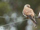 Nankeen Kestrel - female