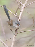 Red-winged Fairy-wren - female 2