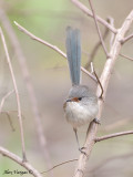 Red-winged Fairy-wren - female 4
