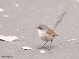 Red-winged Fairy-wren - female