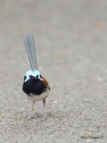 Red-winged Fairy-wren - male 2