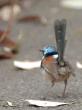 Red-winged Fairy-wren - male 3