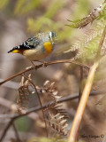 Spotted Pardalote - 5