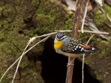 Spotted Pardalote -3