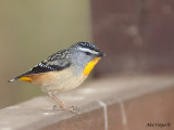 Spotted Pardalote 2