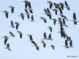 Straw-necked Ibis 4