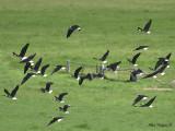 Straw-necked Ibis 5