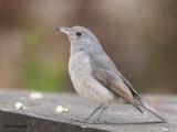 Grey Shrike-thrush - juvenile